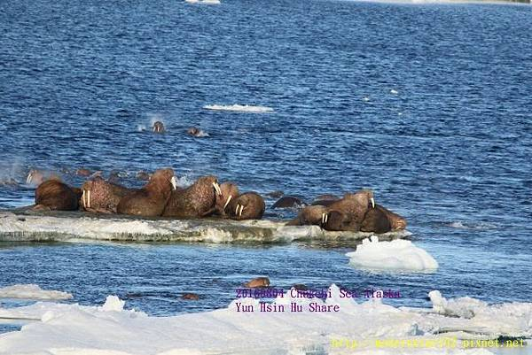 20160804Chukchi Sea polar bear894A0253 (640x427).jpg