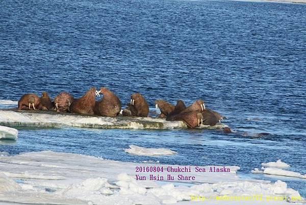 20160804Chukchi Sea polar bear894A0230 (640x427).jpg