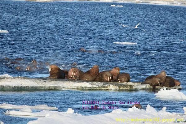 20160804Chukchi Sea polar bear894A0261 (640x427).jpg