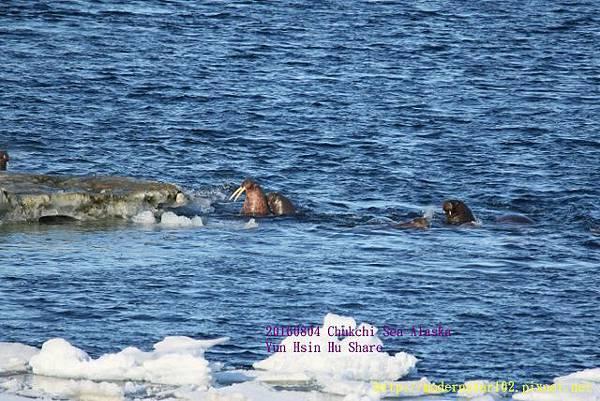 20160804Chukchi Sea polar bear894A0433 (640x427).jpg
