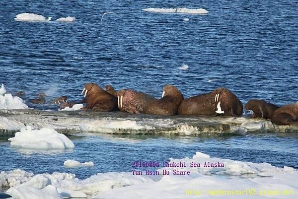 20160804Chukchi Sea polar bear894A0317 (640x427).jpg
