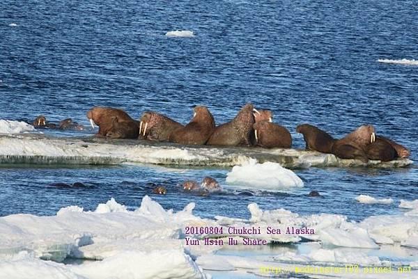 20160804Chukchi Sea polar bear894A0294 (640x427).jpg