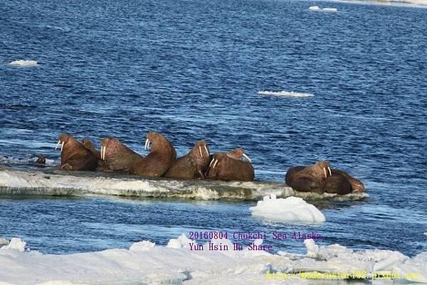 20160804Chukchi Sea polar bear894A0269 (640x427).jpg