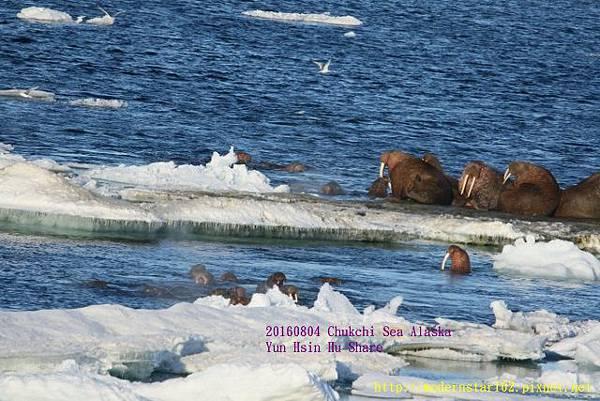 20160804Chukchi Sea polar bear894A0303 (640x427).jpg