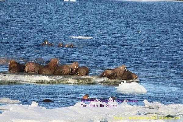20160804Chukchi Sea polar bear894A0258 (640x427).jpg