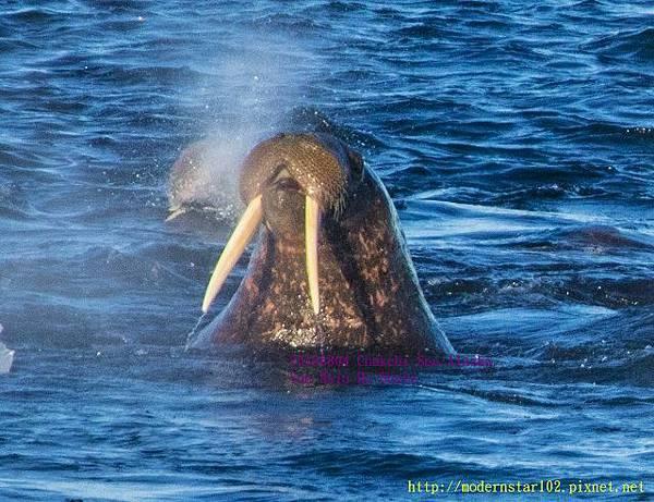 20160804Chukchi Sea polar bear894A0439-1 (640x491).jpg