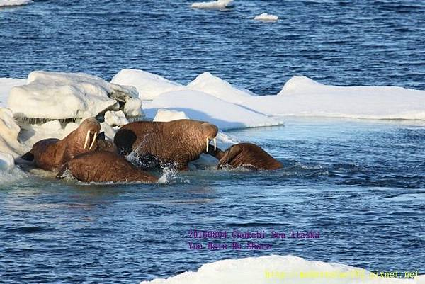 20160804Chukchi Sea polar bear894A0573 (640x427).jpg