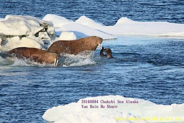 20160804Chukchi Sea polar bear894A0579 (640x427).jpg