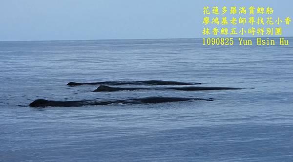 1090825抹香鯨1090825抹香鯨1.jpg