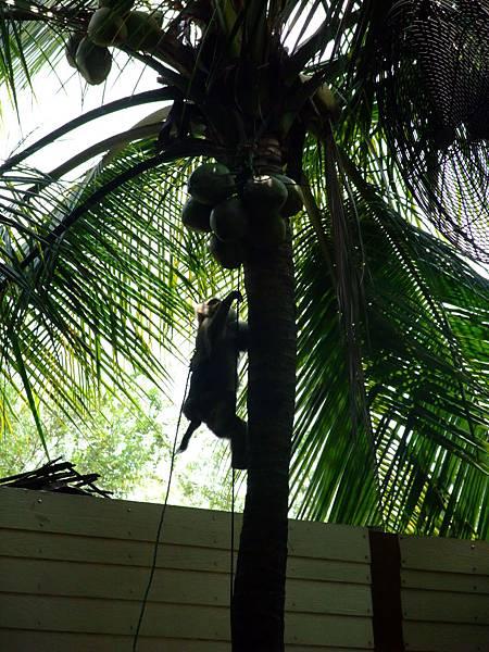 猴子表演摘椰子