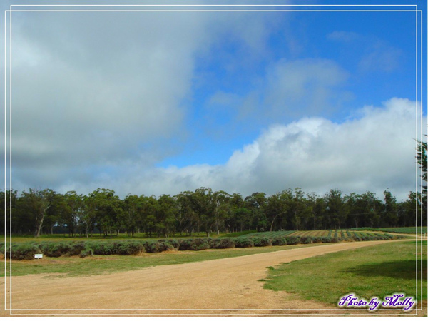 Aloomba Lavender (Stansthorpe)