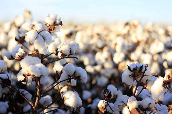 cotton_bolls_7.jpg