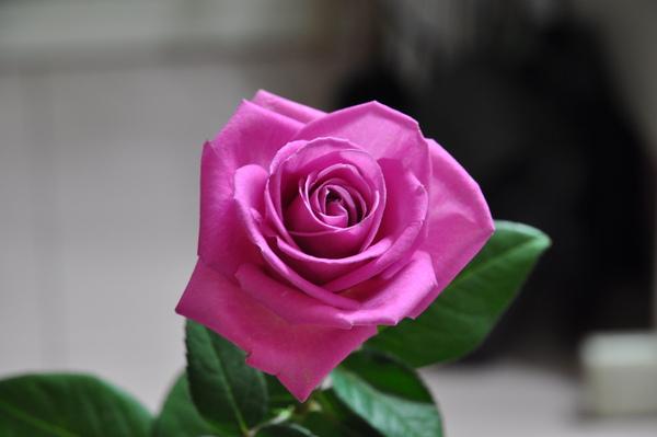 情人玫瑰花