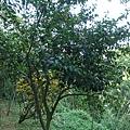 """這種樹在我小時後意義很重大 超有紀念性和回憶的一棵樹,原來他叫""""含笑花"""""""