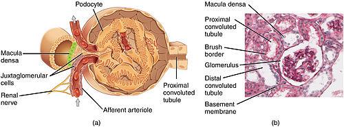 Juxtaglomerular_Apparatus_and_Glomerulus