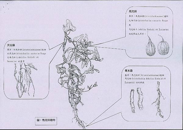 馬兜鈴植物各用部(藥材名:馬兜鈴、天仙藤、青木香)圖解.jpg