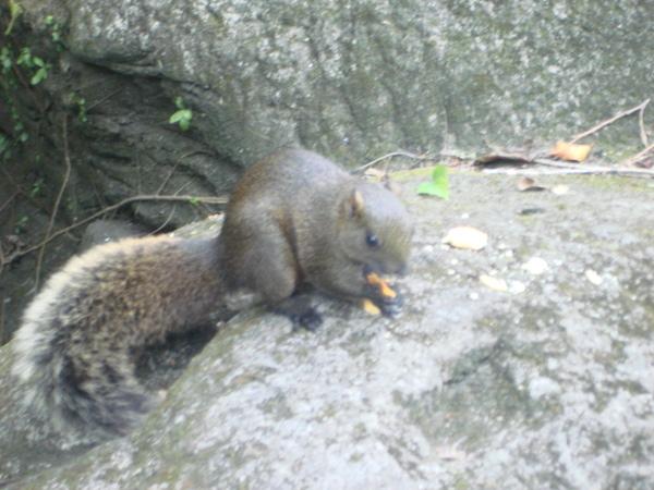 熱帶雨林突然跑出來的松鼠,很親近人哦!!