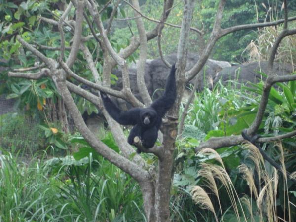 好像在求偶的長臂猩猩,因為一直發出怪聲,超大聲