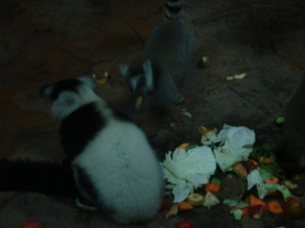 馬達加斯加區的一堆猴類吧
