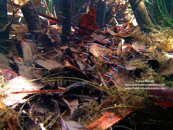 Paracheirodon axelrodi 523 AP.jpg