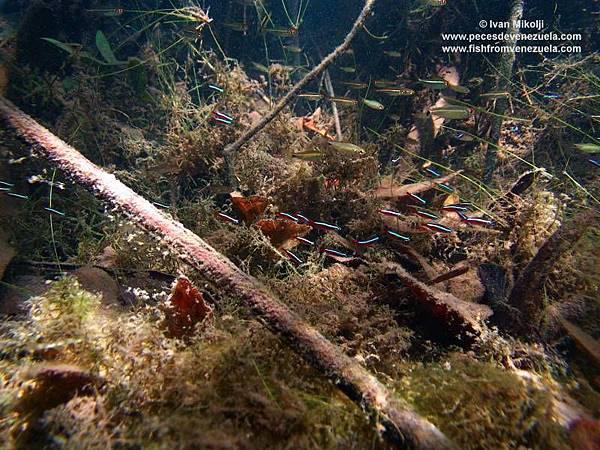 Paracheirodon axelrodi 568 AP.jpg