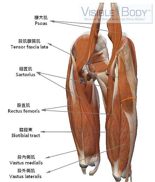 大腿肌肉.jpg
