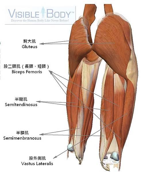 大腿肌肉(後).jpg
