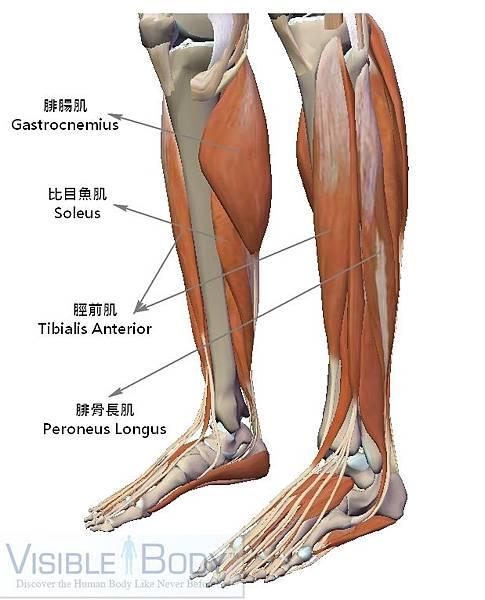 小腿肌肉.jpg