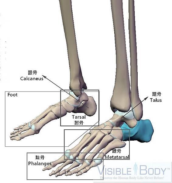 腳板骨骼.jpg