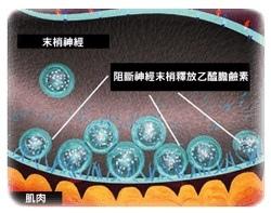 肉毒桿菌的作用原理圖.jpg