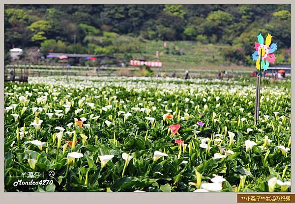 陽明山竹子湖海芋04