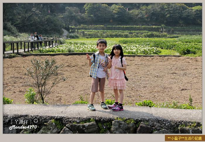 陽明山竹子湖海芋12