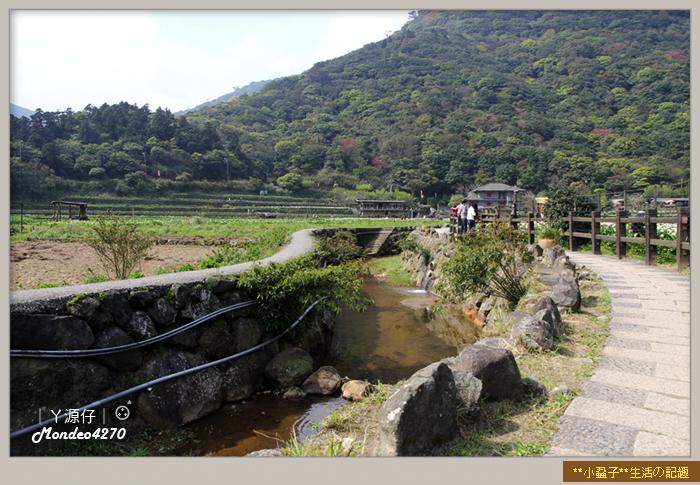 陽明山竹子湖海芋14