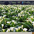 陽明山竹子湖海芋16