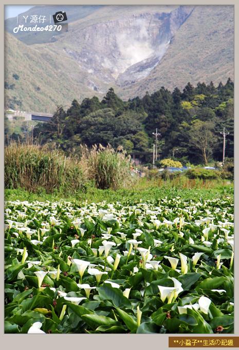 陽明山竹子湖海芋15