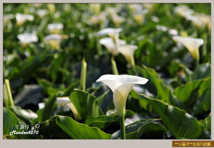 陽明山竹子湖海芋24