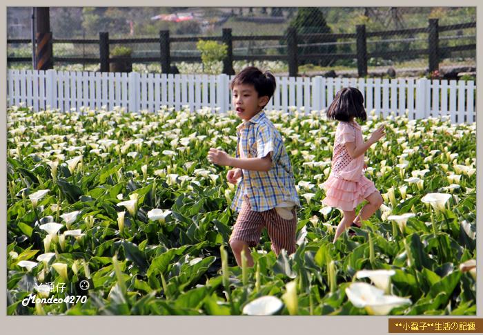 陽明山竹子湖海芋28