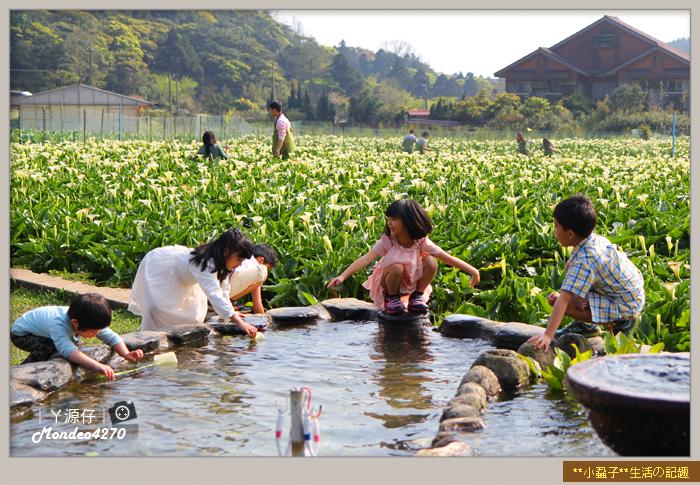 陽明山竹子湖海芋30