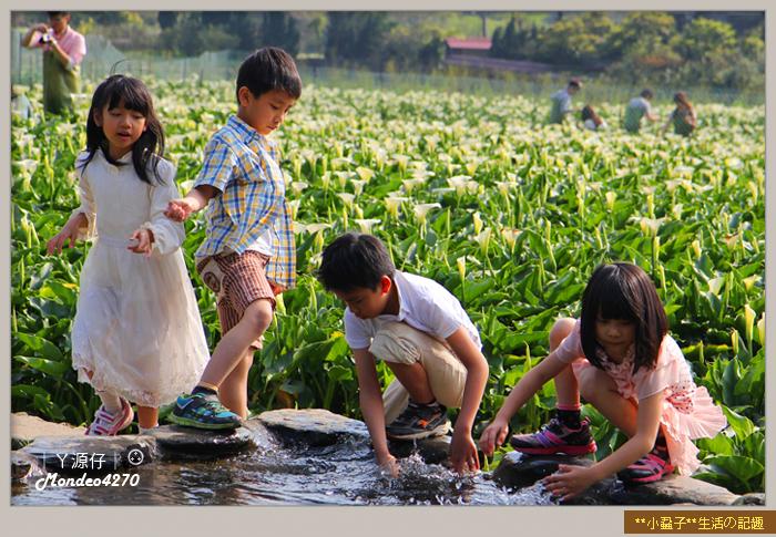 陽明山竹子湖海芋31