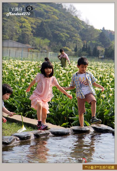 陽明山竹子湖海芋32