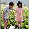 陽明山竹子湖海芋33