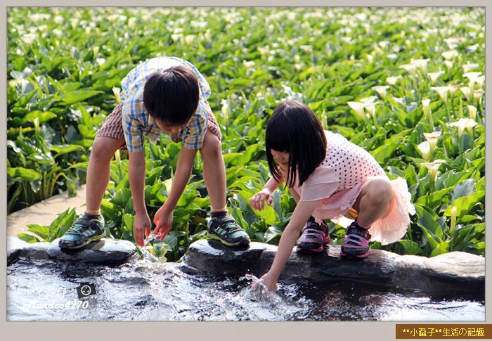 陽明山竹子湖海芋34
