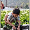 陽明山竹子湖海芋35