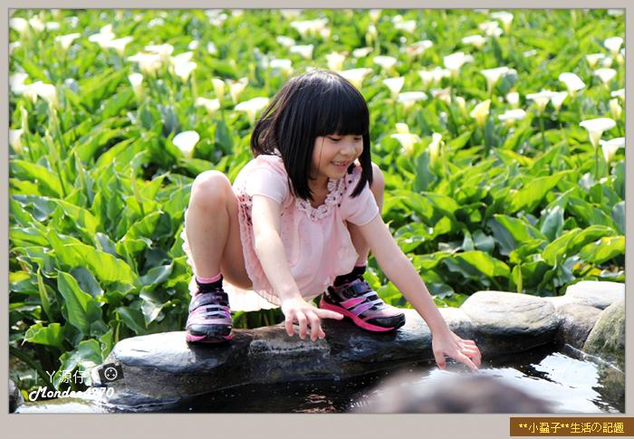 陽明山竹子湖海芋36