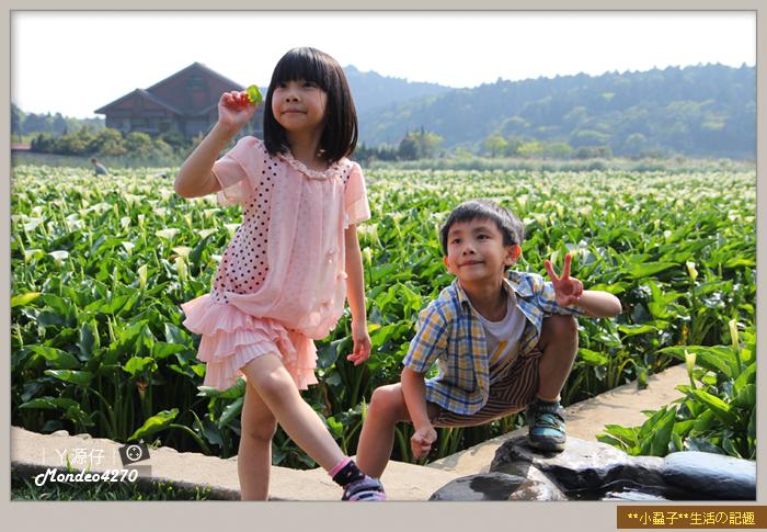 陽明山竹子湖海芋37