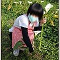 陽明山竹子湖海芋39