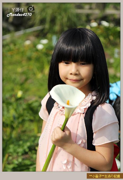 陽明山竹子湖海芋42