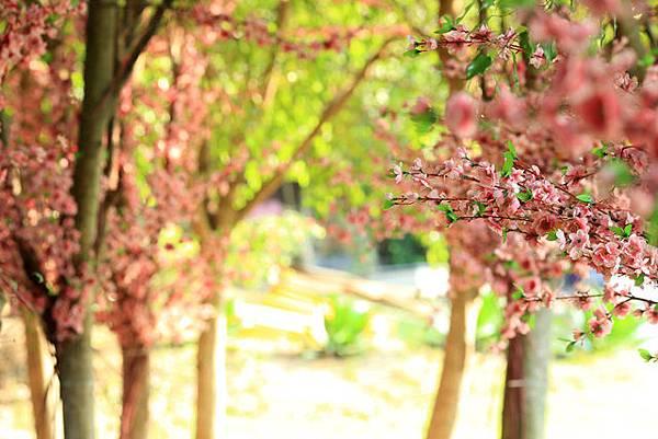 圖為:高雄自助婚紗推薦景點-櫻花樹林