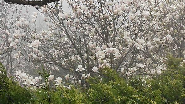 111木蓮花