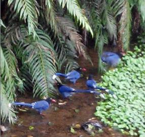 111藍鵲覓食